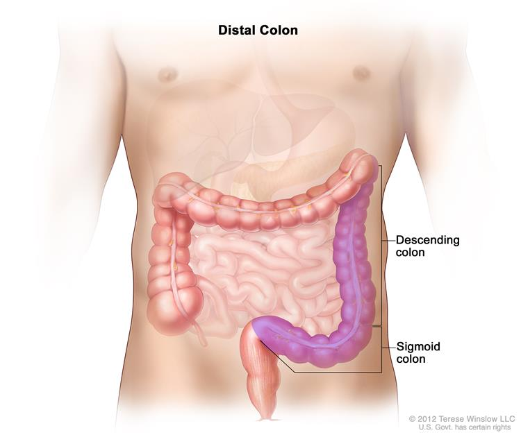 definition of distal colon nci dictionary of cancer terms