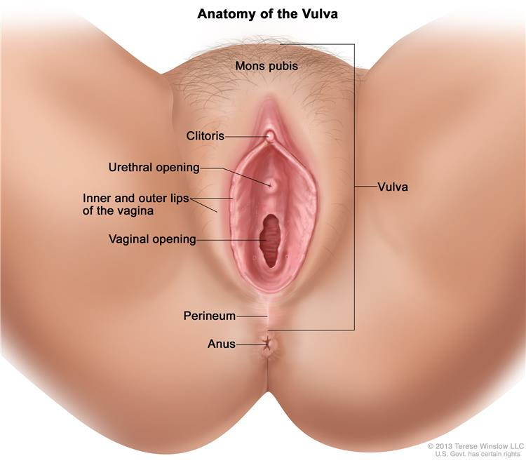 vulva drawing shows the mons pubis clitoris urethral opening inner