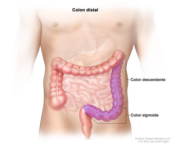 Colon distal; el dibujo muestra partes del colon distal, incluso el colon descendente y el colon sigmoide.