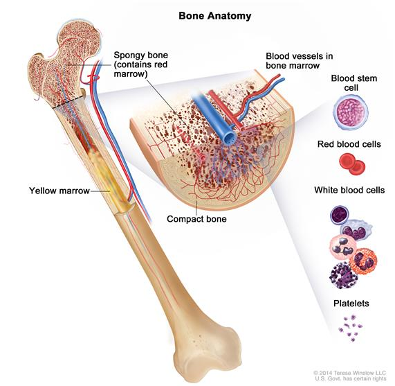 Definition of bone marrow - NCI Dictionary of Cancer Terms ...