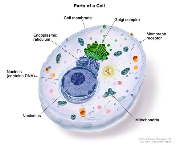Drawing showing a cell containing organelles, including the nucleus (contains DNA), the nucleolus, Golgi complex, mitochondria, and endoplasmic reticulum. Also shown are the cell membrane and a membrane receptor.
