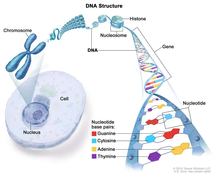 Definition of chromosome nci dictionary of cancer terms national enlarge structure of dna ccuart Gallery