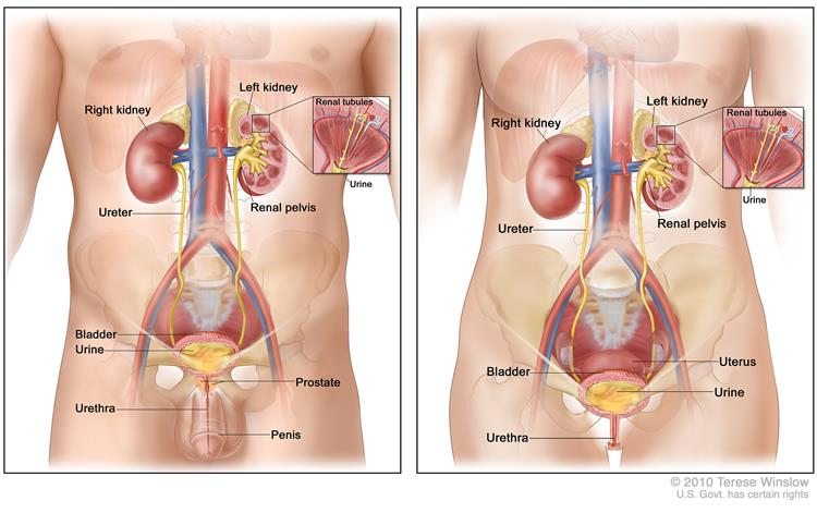 This picture shows the bladder and nearby organs in a man and woman
