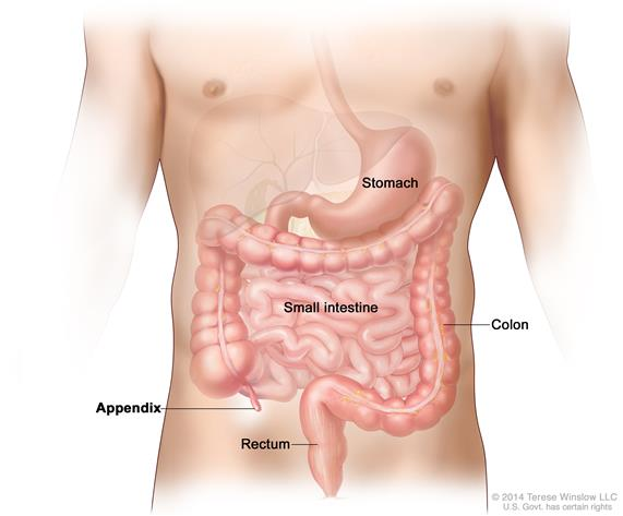 Drawing shows the stomach, small intestine, appendix, colon, and rectum.