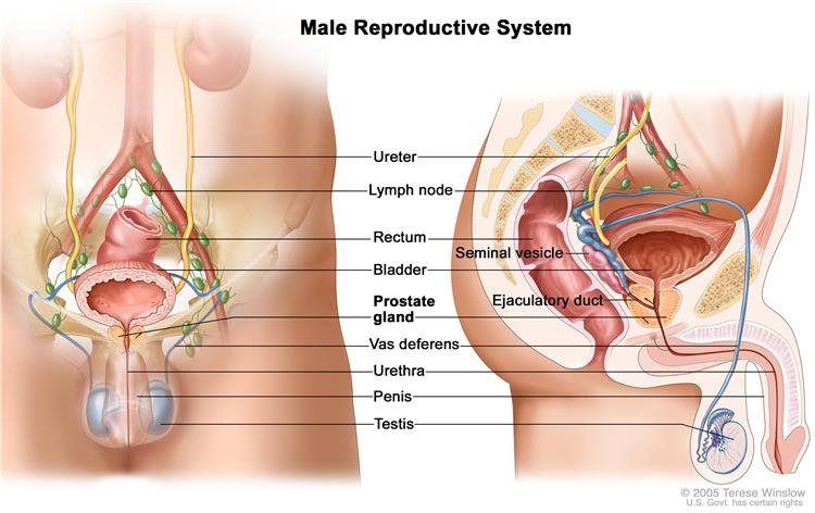 Definition Of Reproductive System Nci Dictionary Of Cancer Terms