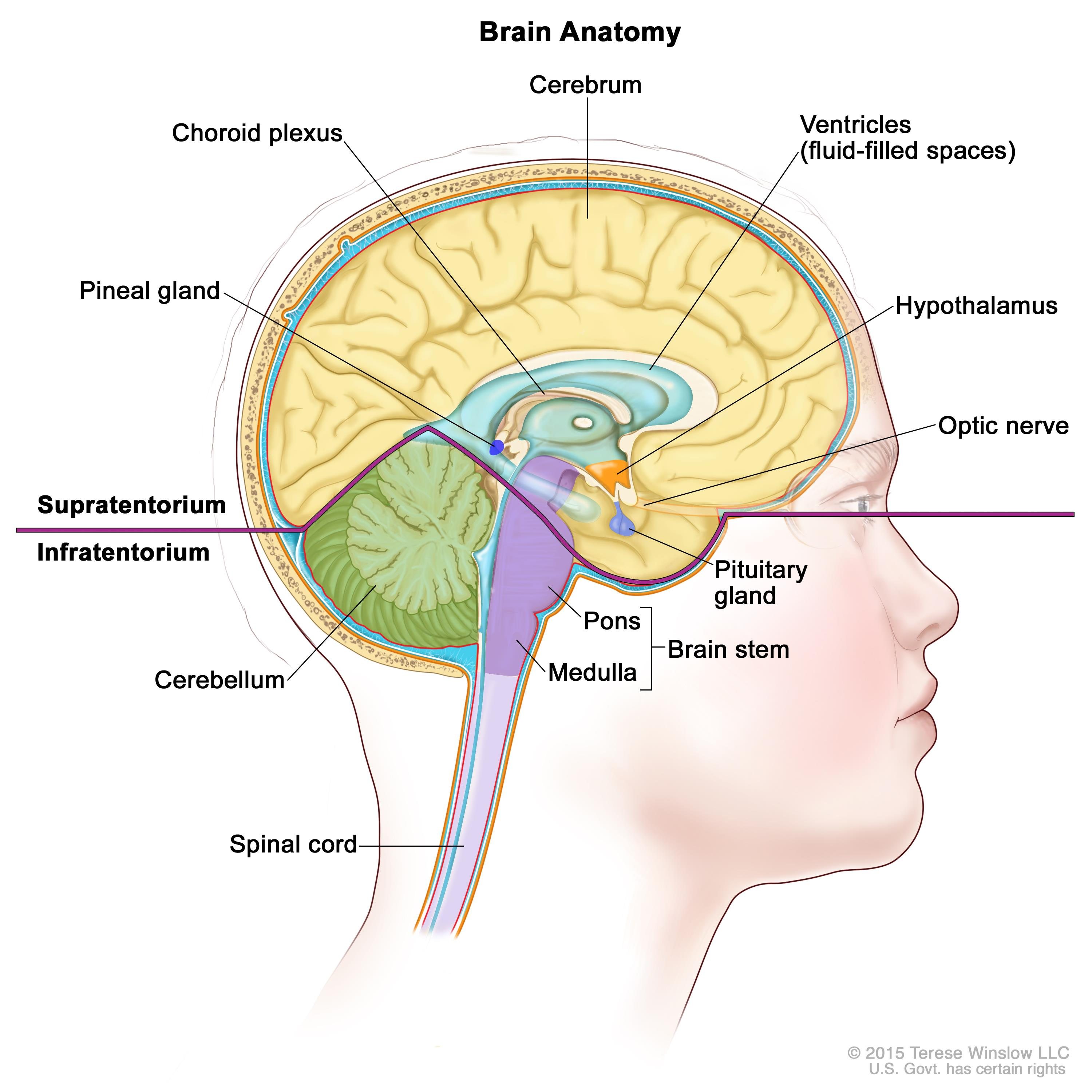 the main features of the human brain When combined into networks, neurons allow the human body memory, emotion, and abstract thought as well as basic reflexes the human brain contains an.