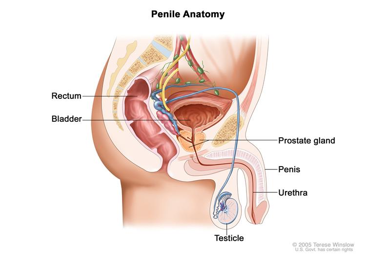 Anatomy of the male reproductive and urinary systems; drawing shows the bladder, prostate gland, penis, urethra, testicle, and rectum.