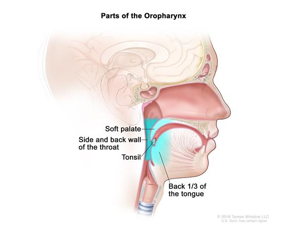 Parts of the oropharynx; drawing shows the soft palate, side and back wall of the throat, tonsil, and the back third of the tongue.