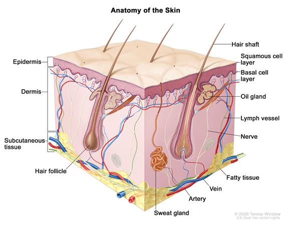 Anatomy of the skin; drawing shows the epidermis (including the squamous cell and basal cell layers), dermis, and subcutaneous tissue. Also shown are the hair shafts, hair follicles, oil glands, lymph vessels, nerves, fatty tissue, veins, arteries, sweat glands.