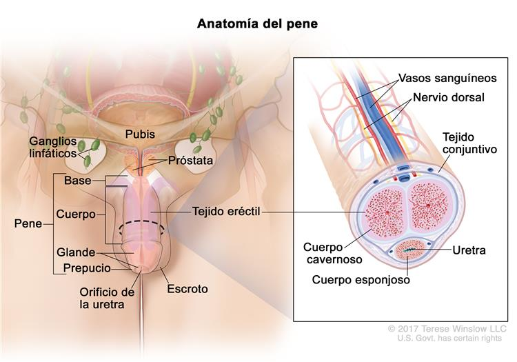Definición de pene - Diccionario de cáncer - National Cancer Institute