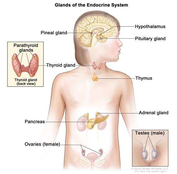 Glands and organs of the endocrine system; drawing shows the hypothalamus, pituitary gland, pineal gland,  thyroid gland, thymus, adrenal gland, pancreas, ovaries (female), and testes (male). An inset shows the back view of the thyroid gland with the four pea-sized parathyroid glands on it.