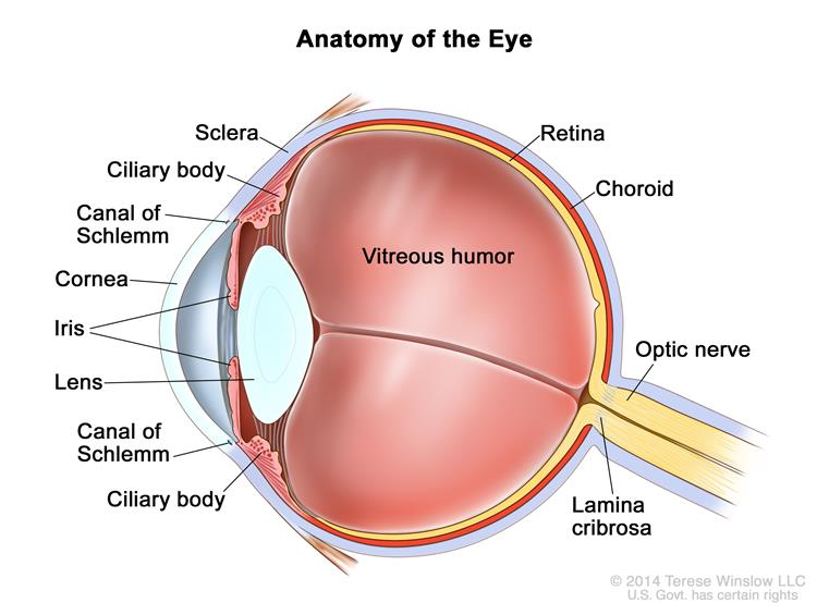 Anatomy of the eye; drawing shows the sclera, ciliary body, canal of Schlemm, cornea, iris, lens, vitreous humor, retina, choroid,  optic nerve, and lamina cribrosa.