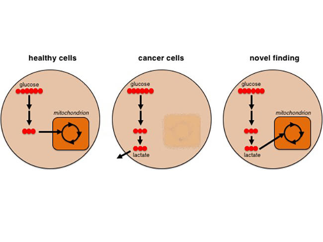 Another Cancer Cell Energy Source - National Cancer Institute