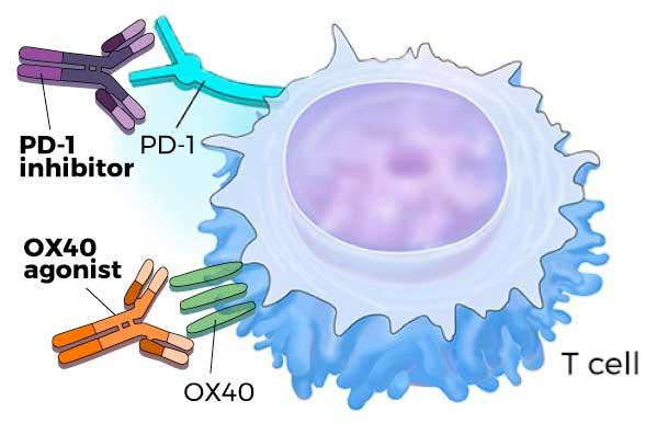 Timing and Sequence Critical for Immunotherapy Combination