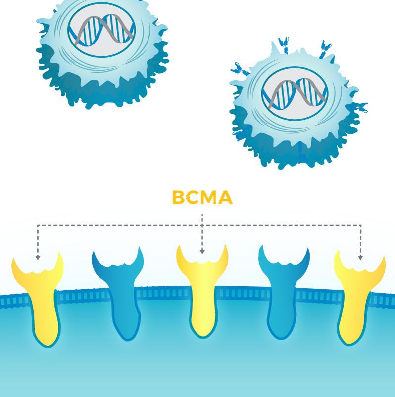 Illustration of BCMA Receptors & CAR T Cells