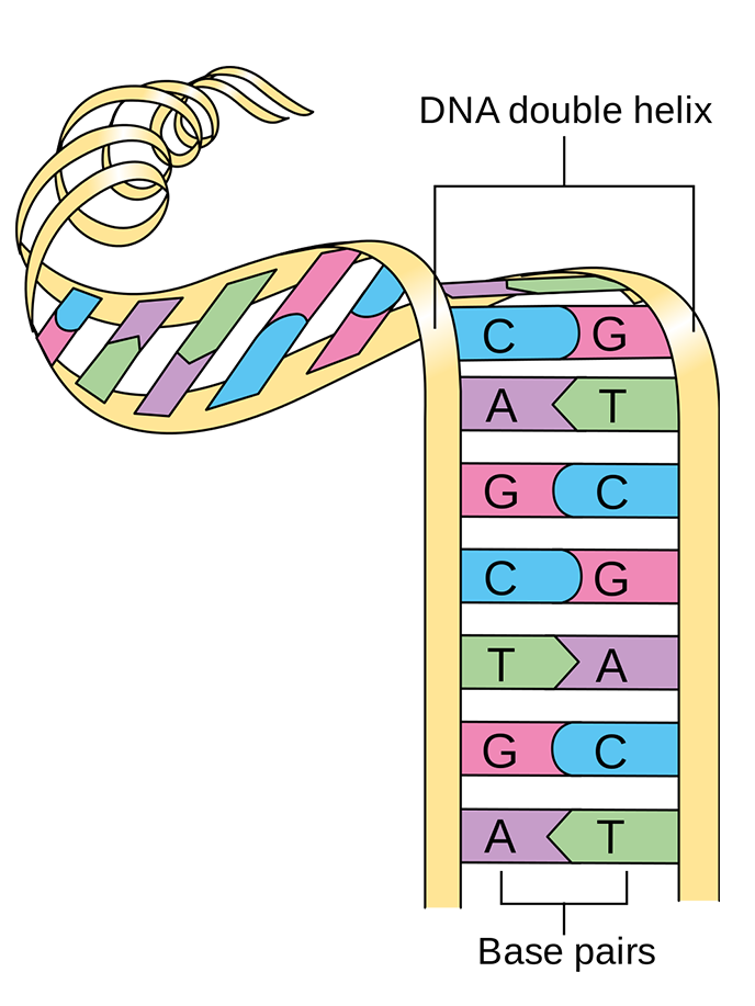 A cartoon DNA strand unwinds to show base pairs of A-T and G-C.
