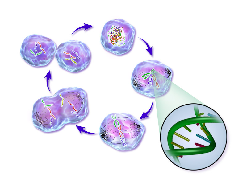 An illustration of phases of the life cycle of a normal cell