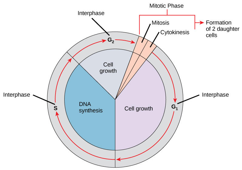 Diagram showing the sequence of phases, cell growth, and DNA synthesis during the cell cycle.