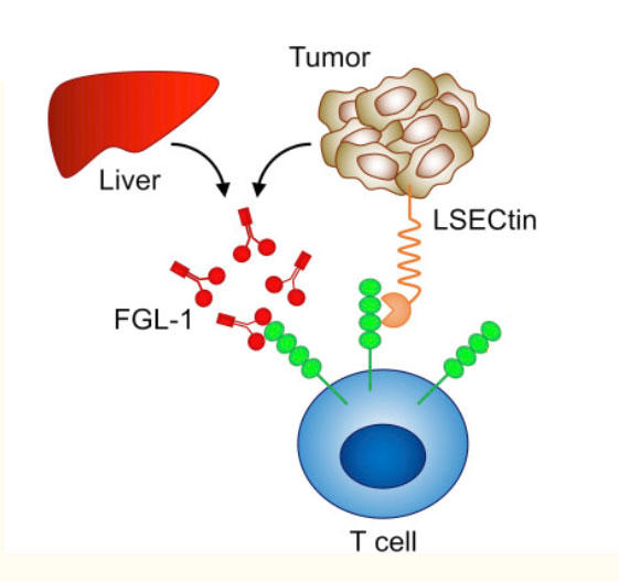 Illustration of interaction of LAG-3 on tumor cells with proteins on other cells.