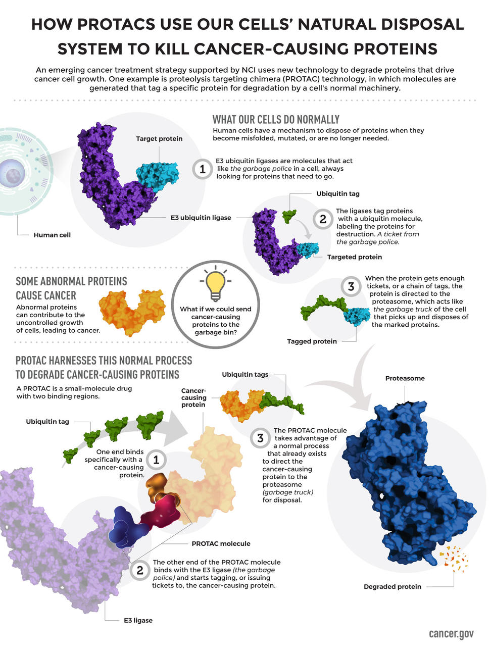How PROTACS Use Our Cells' Natural Disposal System to Kill Cancer-Causing Proteins Infographic