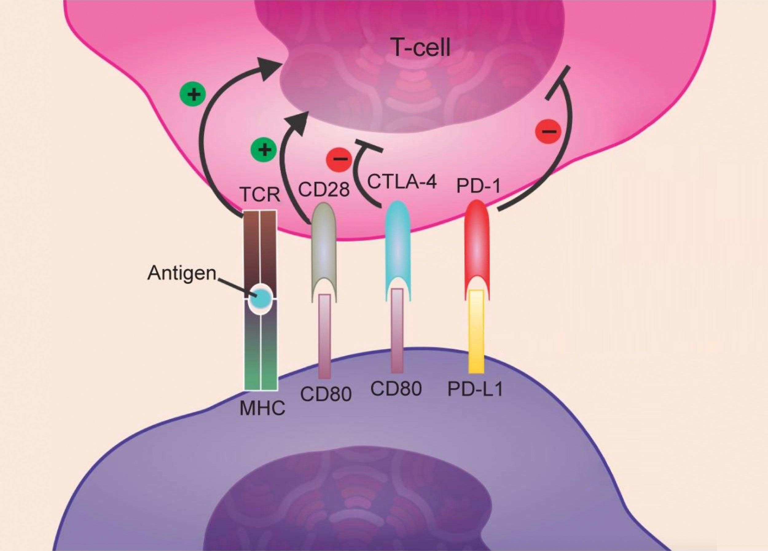 Image result for Atezolizumab