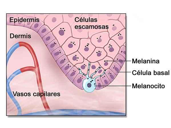 células de próstata basal