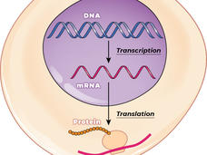 An illustration showing the transcription of DNA into mRNA and the translation of mRNA into the synthesis of proteins.